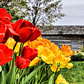 Garden Tulips On A Cloudy Day by Elaine Manley