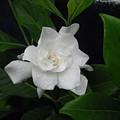 Gardenia Aromatic by Robert Cunningham