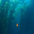 Garibaldi Fish In Giant Kelp Underwater by James Forte