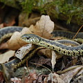 Garter Snake by Eric Liller
