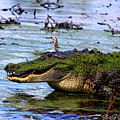 Gator Growl by Barbara Bowen