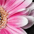 Gerber Daisy by Karen Ulvestad