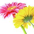 Gerbera Flowers by Carlos Caetano