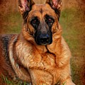 German Shepherd Dog Portrait  by Angie Tirado
