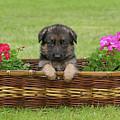 German Shepherd Puppy In Basket by Sandy Keeton