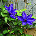 Giant Blue Clematis by Douglas Barnett