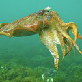 Giant Cuttlefish by Bruce J Robinson