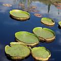 Giant Lily Pads by Carol Cavalaris