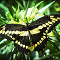 Giant Swallowtail by Saija  Lehtonen