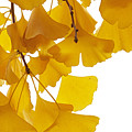 Ginkgo Ginkgo Biloba Leaves In Autumn by Aad Schenk