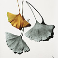 Ginkgo Leaves by Garry McMichael