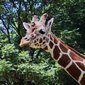 Giraffe by Keri MacKinnon