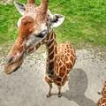 Giraffe's Point Of View by Michael Garyet