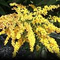 Glodenrod Flower by Sholeh Mesbah