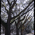 Glorious Live Oaks With Framing by Carol Groenen