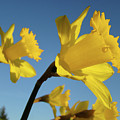 Glowing Daffodil Flowers Floral Art Baslee Troutman by Baslee Troutman