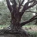 Gnarled Oak by William Thomas
