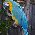 Golden Blue Macaw by Melissa Parks