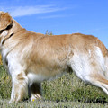 Golden Labrador - Cheemo by Al Bourassa