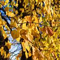 Golden Leaves by Carol Lynch