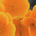 Golden Poppies by Roger Mullenhour