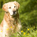 golden Retriever in garden by Ian Middleton