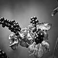Gone To Seed Blackberry Lily by Teresa Mucha