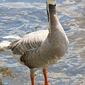 Goosey Goosey Gander... by Martina Fagan
