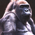 Gorilla by Steve Karol