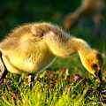 Gosling In Spring by Paul Ge