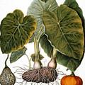 Gourd, Taro, & Pumpkin by Granger
