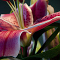 Graceful Lily Series 8 by Olga Smith