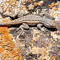 Grand Canyon Lizard by Julie Niemela