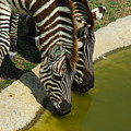 Grants Zebras - Thirst Quencher by Robyn Stacey