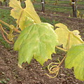 Grape Leaves At Fess Parker by PJ  Cloud