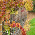 Grape Vines In Fall by Jeff White