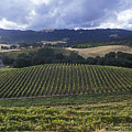 Grape Vines On Opolo Vineyards by Rich Reid