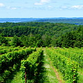 Grapevines On Old Mission Peninsula - Traverse City Michigan by Michelle Calkins