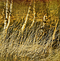 Grass And Birch by Meirion Matthias