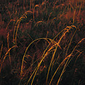 Grasses Glow Golden In Evenings Light by Raymond Gehman