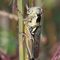 Grasshopper by Carol Groenen