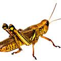 Grasshopper I by Gary Adkins