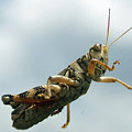 Grasshopper IIi by James Granberry