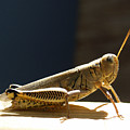 Grasshopper IIII by James Granberry