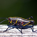 Grasshopper Nymph by Kenneth Albin