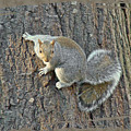 Gray Squirrel - Sciurus Carolinensis by Mother Nature