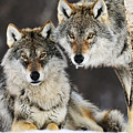 Gray Wolf Canis Lupus Pair In The Snow by Jasper Doest