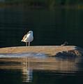 Great Black-backed Gull  by Jouko Lehto