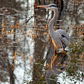 Great Blue Heron And Reflection by Suzanne Gaff