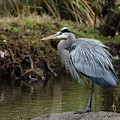Great Blue Heron On The Watch by George Randy Bass
